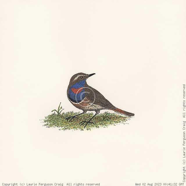 Bluethroat -- (c) Laurie Ferguson Craig