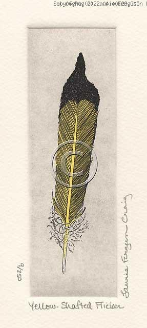 Yellow-Shafted Flicker [Feather] -- (c) Laurie Ferguson Craig